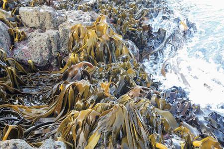 alga marina: una enorme cantidad de algas del océano que se encuentra en Nueva Zelanda