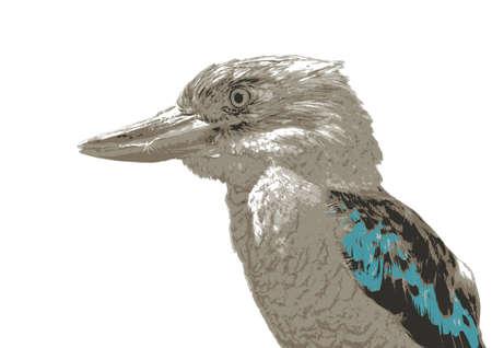 perching: Laughing kookaburra  native to Australia on white background