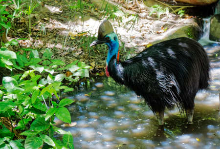 wingless: cassowary in the creek cooling down Stock Photo