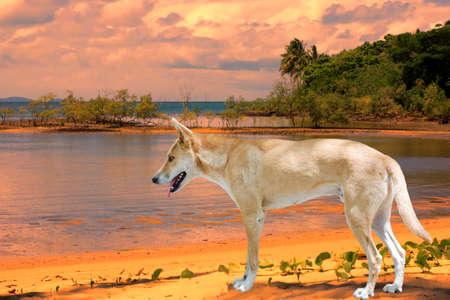 port douglas: dingo on the beach at Port Douglas