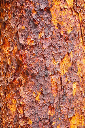 nature backgrounds: Corymbia terminalis, also known as the desert bloodwood, is a tree native to Australia