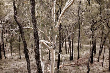 buisson: beaux arbres de brousse indigènes croissantes en Australie