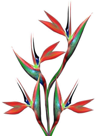 isolated flower: bouquet of flowers bird of paradise on a white background Stock Photo