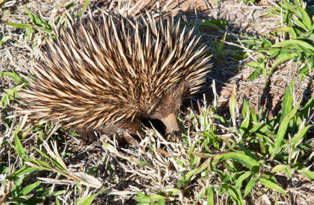 echidna: echidna on the dry ground of Australia outback Stock Photo