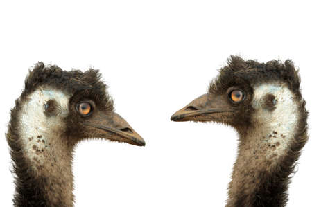 flightless: Two large emues with white background Stock Photo