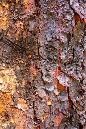 sap: Corymbia terminalis, also known as the desert bloodwood, is a tree native to Australia