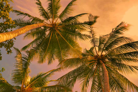 coconut trees: looking up at coconut trees at the beach at sunset