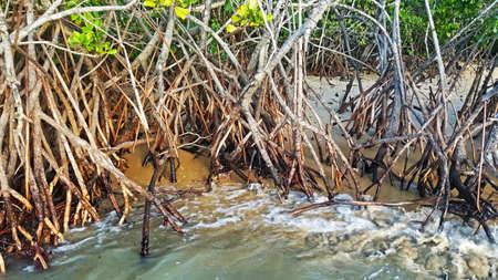 mangroves: Mangroves at the beach at Cairns Australia
