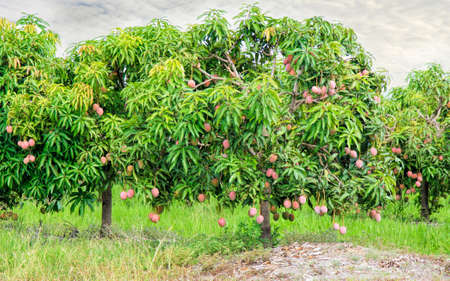 Mango farm in Mareeb Australia near Cairns