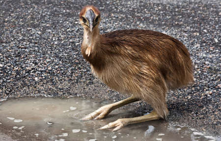 ostrich chick: cassowary chick in a puddle of water Stock Photo