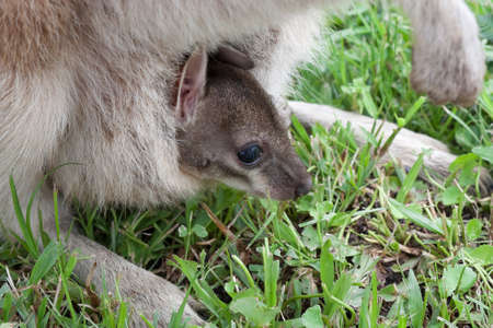 mum wallaby with baby joey peeping out of her pouch