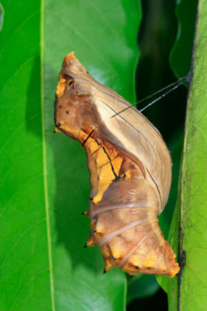cocoon of a bird-wing butterflly attached to leaves in the garden Stock Photo