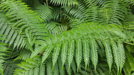 lush tree fern leaves a tropical plant Stock Photo