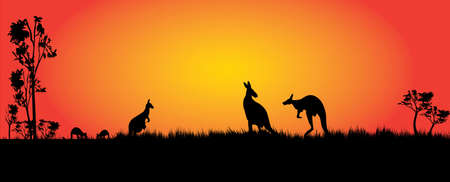 Kangaroos feeding in the sunset. Panaroma view