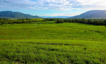 green cow paddocks in Tully North Queensland Australia