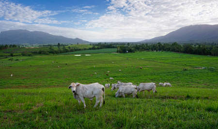 cows in green paddock with mountains in the background, Tully Australia 写真素材
