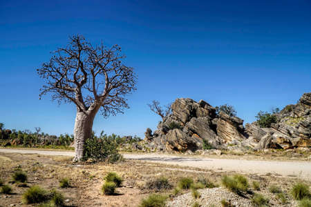 Boab Tree with spinifex grass in foreground and large rocks 免版税图像