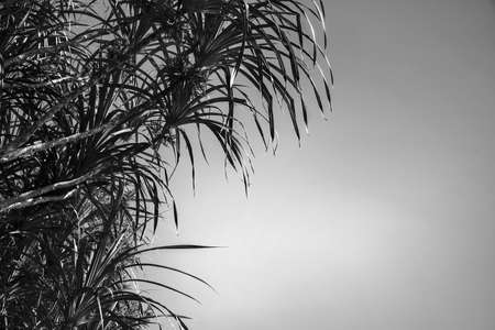 pandanus tree in black and white with copy space Stock Photo