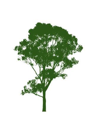 eucalyptus gum tree on white background