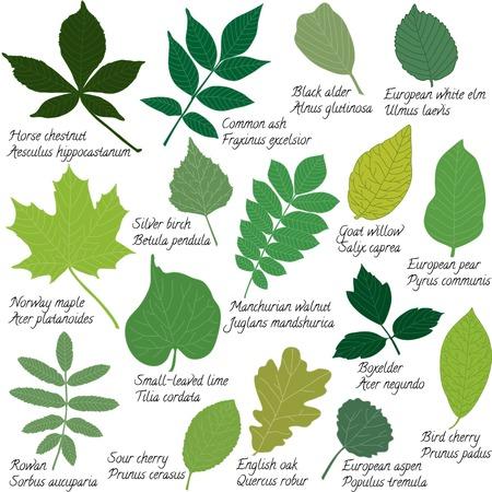Colección de diferentes hojas aisladas en blanco Ilustración de vector