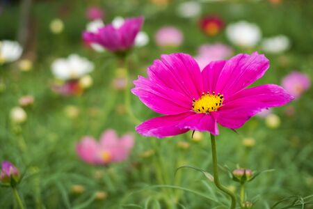 pollens: Pink flower with yellow pollens in a garden