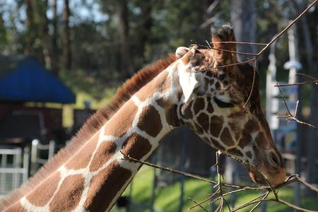 Giraffe eyes closed 版權商用圖片