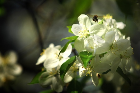 Apple tree in bloom Stock Photo - 14052889