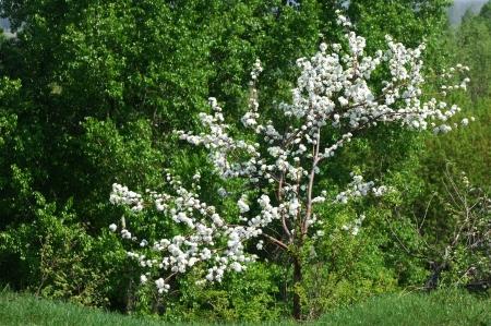 Apple tree in bloom Stock Photo - 14047423