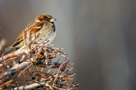 Sparrow on a branch photo