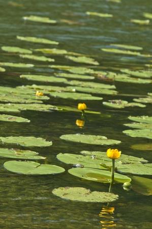 lotus Stock Photo - 14054846