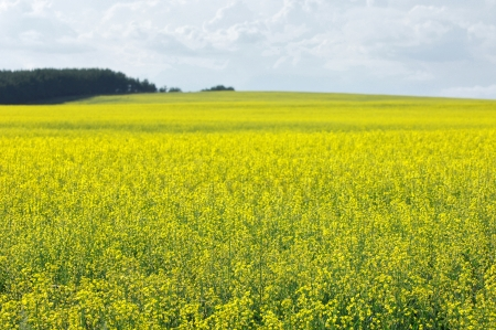 rapaseed: Brassica napus, rape, colza, rapeseed, oilseed rape, rapa, rappi, rapaseed, Brassicaceae, mustard, Stock Photo