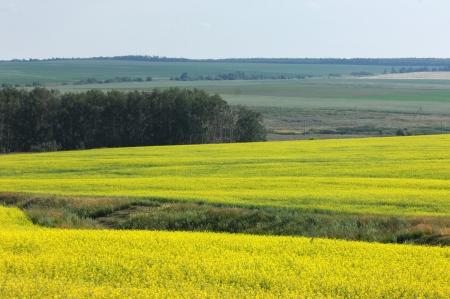 Brassica napus, rape, colza, rapeseed, oilseed rape, rapa, rappi, rapaseed, Brassicaceae, mustard, Stock Photo - 14078936