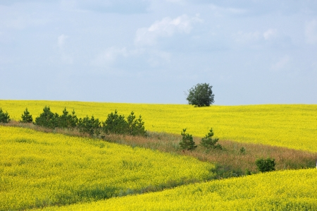 rapaseed: Brassica napus, rape, colza, rapeseed, oilseed rape, rapa, rappi, rapaseed, Brassicaceae, Stock Photo