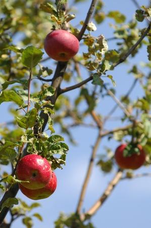 sapid: apples