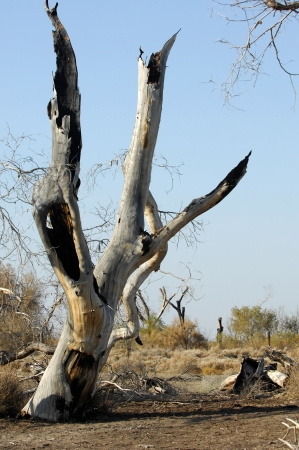 Diversifolia Populus. Kazakhstan. Ili River.Haloxylon. photo