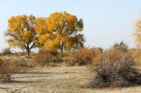 Diversifolia Populus. Kazakhstan. Ili River.Haloxylon.