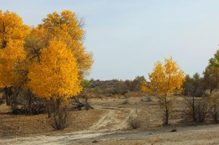 paysage: Diversifolia Populus. Kazakhstan. Ili River.Haloxylon.