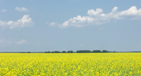 Rapeseed field  Yellow flowers  The bright sun  blue sky photo