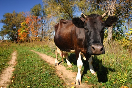 cow in a pasture, bright autumn, green grass photo
