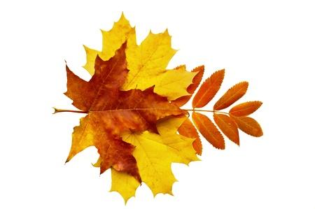 hojas secas: hojas de oto�o, fotografiado en el estudio sobre un fondo blanco