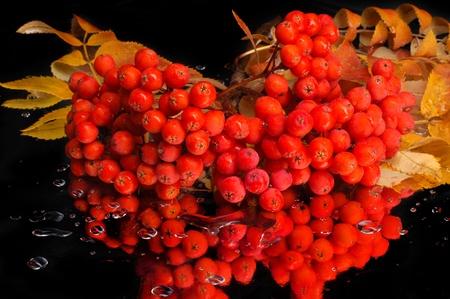 brightest: Rowan nelle pi� brillanti ammassi, rosso e giallo Archivio Fotografico