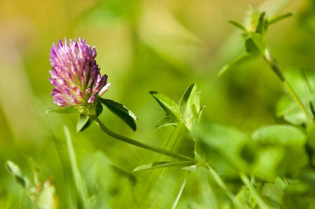 clover flower photo