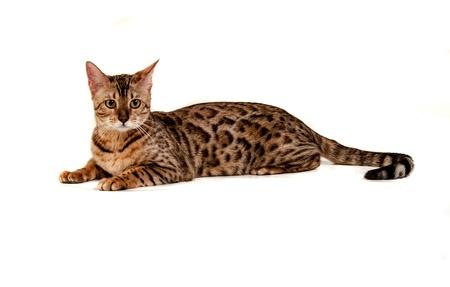 Leopard cat Stock Photo - 17419774