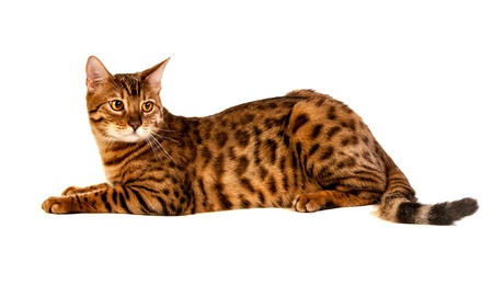 Leopard cat Stock Photo - 17419788