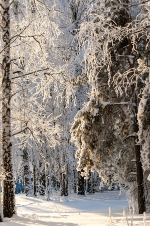 wintery day: Trees covered with rime, a bright sunny day Stock Photo