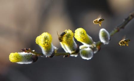 Wilg wordt bestoven door bijen Stockfoto - 18006418