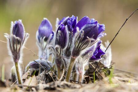 pulsatilla: Pulsatilla. flower of pasqueflower.  Stock Photo