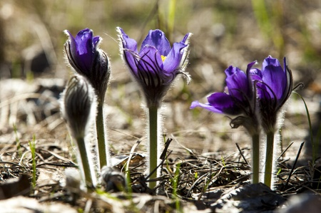 pasque flower, Pulsatilla patens. Pasqueflowers (Pulsatilla patens) on the field with grass. pasque flower.  photo