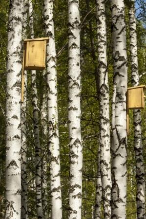 Birch forest. Birch Grove. White birch trunks. Spring sunny forest. Sunny day in the birch forest in may.  photo