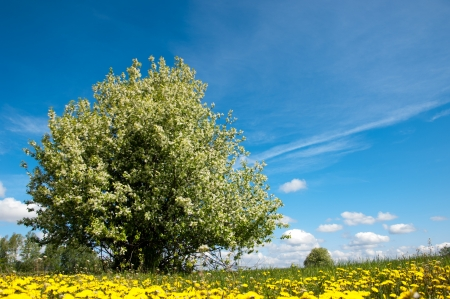 panoramatic: dandelion in green grass. Beautiful spring panoramatic shot with a dandelion meadow. Field of dandelions on background of the sky.  Stock Photo